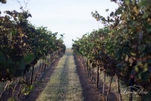 Row of grapes at Lightning Ridge