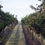 Row of grapes at Lightning Ridge